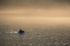 Autunno alle Bolle (Giancarlo Filippini) Tags: acqua natura magadino bolle uccello svasso birdwatching nebbia