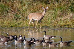 Fall at Exton Park (tresed47) Tags: 2016 201610oct 20161011extonparkbirds animals birds canadagoose canon7d chestercounty content deer extonpark folder geese pennsylvania peterscamera petersphotos places takenby us