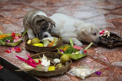 Bali 2013 (BlngShu) Tags: bali dogs offerings puppies tanahlot temple