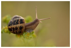 Victoire!  victory! (isabelle.bienfait) Tags: escargot snail gastropode macro proxyphoto proxymacro nikond5100 sigma105 ambiance
