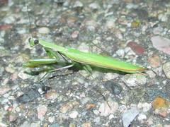 Mantis religiosa, male (tigerbeatlefreak) Tags: insect mantid mantodea nebraska mantis religiosa