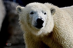 """Sunday Bear Watching You"" (caren (Thanks for 1 Million+ views)) Tags: eisbr polarbear ursusmaritimus predator"
