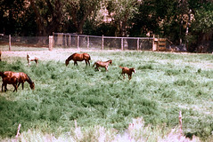 34-209 (ndpa / s. lundeen, archivist) Tags: nick dewolf nickdewolf color photographbynickdewolf 1970s 1973 film 35mm 34 reel34 utah southwestutah southwesternunitedstates zionnationalpark nationalpark animal animals horse horses field grazing fence ranch