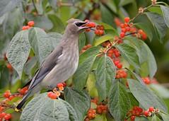 Cedar Waxwing (Explored 10/11/2016) (JDA-Wildlife) Tags: birds nikon nikond7100 tamronsp150600mmf563divc jdawildlife johnny cedarwaxwing explore explored whatbirdbestofday