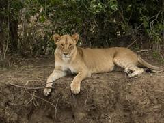 Her Majesty (Makgobokgobo) Tags: lion lioness femal predator mammal masaimaranationalreserve masaimara mara kenya africa pantheraleo panthera