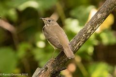 Gray-cheeked Thrush (rdroniuk) Tags: birds smallbirds thrush passerines thrushes graycheekedthrush catharusminimus oiseaux passereaux grives grivejouesgrises