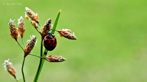 Ladybird on Lawn
