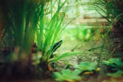 ( Nino) Tags: ai nikkor 50mm f12 s film 35mm 35 mm analog manual dof bokeh depth field 50 f12s canon nikon green turtle botanic garden gardens