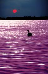 - a magic moment - (swaily ◘ Claudio Parente) Tags: sunset cigno tramonto laguna maremma toscana tuscany capalbio oasiwwf wwfitalia maremmans swaily claudioparente swan nikon nikond300
