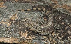 Ornate Crevice Dragon (Ctenophorus ornatus) (Heleioporus) Tags: ornate crevice dragon ctenophorus ornatus near lake cronin western australia