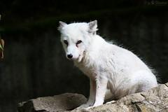 Polar fox (Cloudtail the Snow Leopard) Tags: polarfuchs wildpark bad mergentheim tier animal mammal sugetier fuchs eisfuchs polar arctic white fox vulpes lagopus odd eye