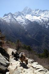 Gegenverkehr (Alfesto) Tags: nepal trekking wanderung himalaya khumbuarea sagarmathanationalpark namche tengboche tiere yaks