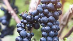 Dunkle Trauben (FalkWussow) Tags: trauben grape traube grapes detail details