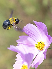 Bumblebee around Cosmos Flower (Johnnie Shene Photography(Thanks, 1Million+ Views)) Tags: bumblebee bombusignitus bombus bee bees insect hymenoptera hymenopteran bug nature natural wild wildlife flying flight midair vertical photography outdoor colourimage fragility freshness nopeople foregroundfocus backgroundblurry single animal cosmosflower floral macro closeup magnified adjustment fulllength flapping wings apidae depthoffield tranquility tranquilscene day lighteffect korea canon eos600d rebelt3i kissx5 tamron 90mm f28 11 lens