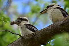 I have a gift for you fellow Kookaburra (Luke6876) Tags: laughingkookaburra kookaburra kingfisher bird animal wildlife australianwildlife