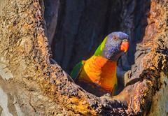 Stolen Hole  (satochappy) Tags: bird rainbowlorikeet lorikeet australia sydney meadowbank nsw wild tree hole nest wildlife  parrot