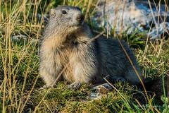 _DSC9577 (Boréalis91) Tags: fontdurles macrofamille vercors marmots voielactã©e