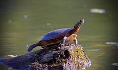 Eastern Painted Turtle (CdnAvSpotter) Tags: eastern painted turtle wildlife animal nature beautiful fall autumn petrie island ottawa orleans ontario canada river lake serene canon canonpro 1dxii 100400l