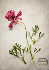 Ranunculus (borealnz) Tags: ranunculus flower label flypaper plate specimen