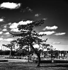 Twisted Pine (PAJ880) Tags: bourne cape cod canal twisted tree pine sky clouds bw mono