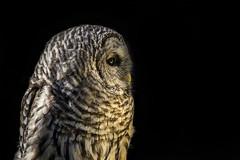 Barred Owl (C-Brese) Tags: barred owl barredowl bird birdofprey raptor cbrese portrait