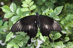 Mariposa 1 (Manolo G.A.) Tags: canon 50d 18200 mariposa butterfly mariposario njar almera