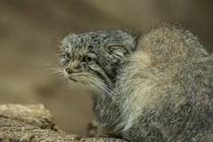 Gatto delle Steppe (iLaura62) Tags: otocolobusmanulpallas1776 gattodellesteppe animals felini