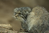 Gatto delle Steppe (iLaura_LauraRabachin) Tags: otocolobusmanulpallas1776 gattodellesteppe animals felini