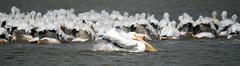 Showoff (Dodge Rock) Tags: americanwhitepelican pelican whiterocklake