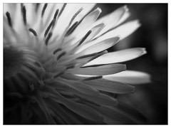 black and white dandelion (therealkiki) Tags: blackandwhite dandelion inthegarden uploaded:by=flickrmobile flickriosapp:filter=panda pandafilter