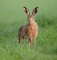 Brown hare  deciding what to do next Lepus europaeus (mikejrae) Tags: brownhare decidingwhattodonextlepuseuropaeus