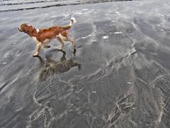 Caper at Talisker Bay, Skye (SkyeWeasel) Tags: skye welshspringerspaniel taliskerbay