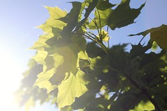 1. take the camera out of the house (elizabetht) Tags: leaves sunshine 50mm 1 spring sigh flare imaginethat howcrazy opbk operationphotobuttkick challenge1takeaphotoofwhatyouwishthischallengewasabout takethecameraoutofthehouse iactuallyusedthe7d forsomethingotherthantakingphotosofmyprojectlifepages idontkonwwhatmyproblemhasbeen andworrysometimesthatproject365brokemephotographywise butihaventtakenphotosivebeentrulyproudofinsuchalongtime andimissthatandthecreativityofitall soherestoworkingonthatright heylooktheresflareandbokehandnotbecauseiaddedthemusingpicmonkeyorpictapgoorsomeapporsomething