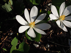 bloodroot (Sanguinaria canadensis) flowers (corvid01) Tags: flowers plant flower bloodroot sanguinariacanadensis sanguinaria papaveraceae magnoliophyta magnoliopsida magnoliidae spermatophyta tracheobionta papaverales dscn6312