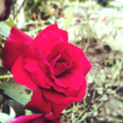 #iphoneography #photograph #instaflower #redroses #red #flower #beautiful (riezVE) Tags: square squareformat earlybird iphoneography instagramapp uploaded:by=instagram