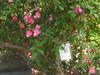IMG_0544 (ceztom) Tags: city trip roses plant cemetery rose by garden square with native cemetary hamilton visit betty historic rivers april sacramento 20 davis speech 19 rosegarden cezanne perennials opengardens kathe cez 1000broadway april20 2013 930–200