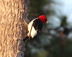 2013 05 04_3572_red-headed woodpecker (nbc_2011) Tags: bird nature woodpecker florida animalplanet planetearth redheadedwoodpecker melanerpeserythrocephalus