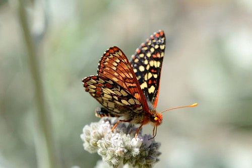 Euphydryas chalcedona (Variable Checkerspot) nectaring on Eriodictyon tomentosum (Woolly Yerba Santa)