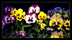 Smiling Flowers! ~ Day 253/365 (ODC - Mother) (SeptemberRayne) Tags: flowers beautiful smile smiling night contrast garden photo crazy colorful bright time walk no picture busy frame week pansies