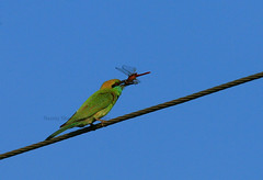 Green Bee Eater (sharmaneeraj) Tags: india green wire dragonfly meal chennai beaeater siruthavur
