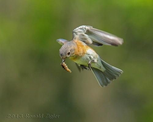Female Bluebird in-flight delivering food