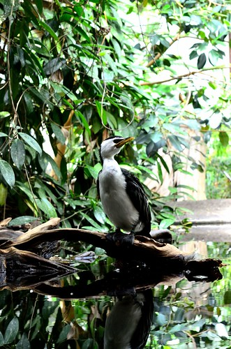 Toronto Zoo - May 20/13 - Little Pied Cormorant