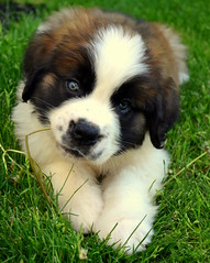 Trouble (Katie Moyer) Tags: pet puppy saintbernard beau photograhy dogphotography petphotography saintbernardpuppy katiemoyer