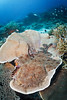 Wobbegong shark on table coral