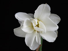 Late Daffodil (janmarie37) Tags: white flower macro closeup ngc daffodil narcissus awesomeblossoms flowerthequietbeauty