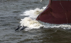 Double Dolphin, May '13 (OneEighteen) Tags: port harbor marine ship houston wave double nave maritime dolphins bow nautical schiff pilot channel  schip navire oneeighteen  houstonshipchannel  louvest