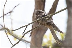 Nightjar at Ynys Hir (Ben Locke (Ben909)) Tags: wild nature wales wildlife springwatch nightjar ynyshir