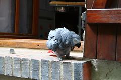 IMG_8886 (huygenz) Tags: anet huygenz parrot papagai 2pinterest