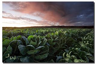 Brussels Sprout Field Dream, Santa Cruz, CA