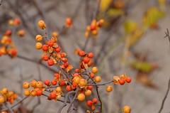 bittersweet berries (marie palcic) Tags: autumn orange fall nature yellow berries capecod branches gray bittersweet